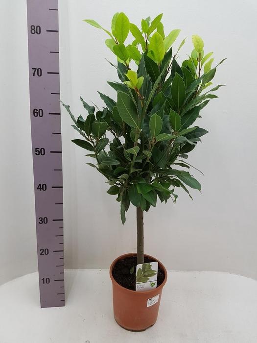<h4>Laurus Nobilis 17Ø 75cm</h4>