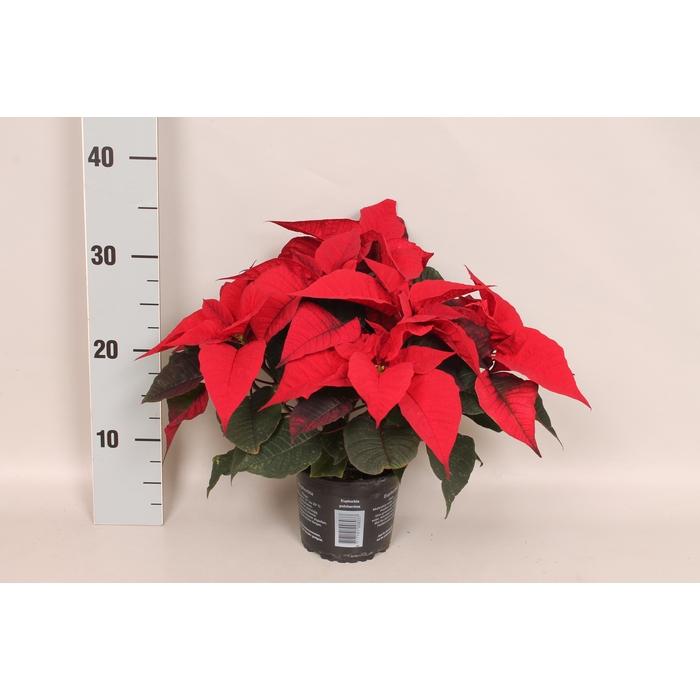 <h4>Poinsettia 13 cm Christmas Feelings® Merlot</h4>