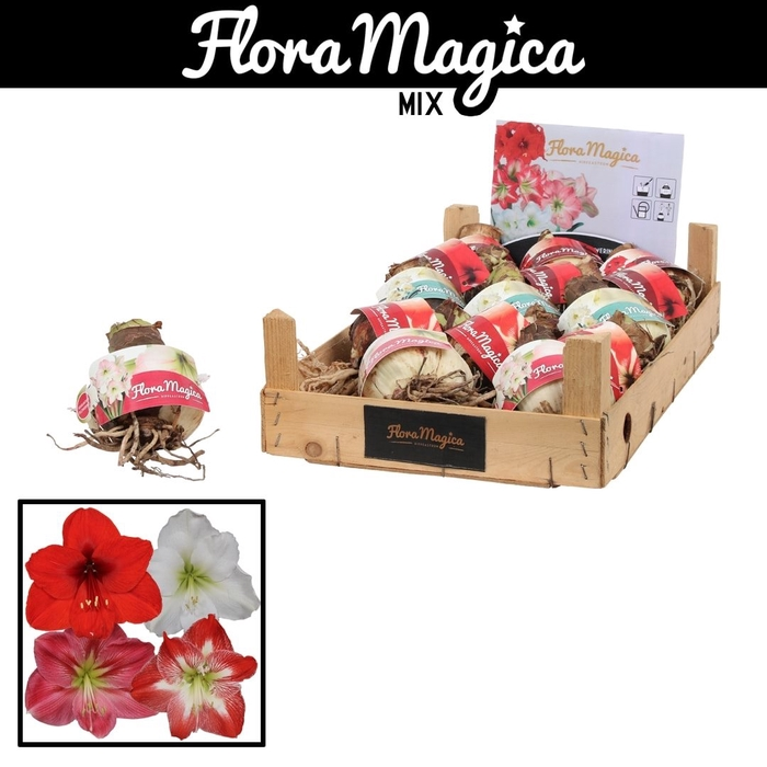 <h4>arr.. Amaryllis VH - 30/32 red mix wooden crate</h4>