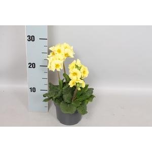 Primula elatior Crescendo 13cm Lemon