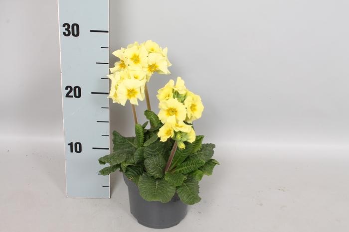 <h4>Primula elatior Crescendo 13cm Lemon</h4>