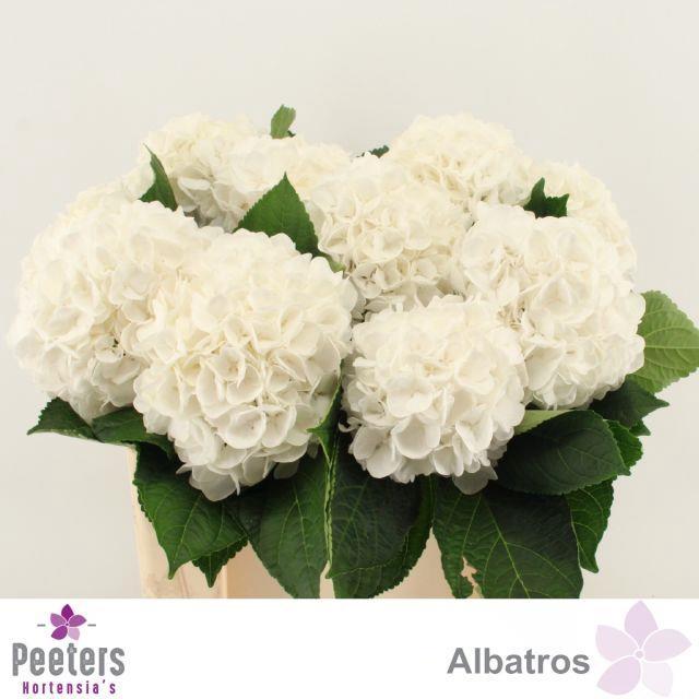 <h4>HYDR M ALBATROS</h4>
