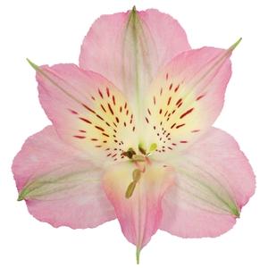 Alstr Pink Premium 80cm