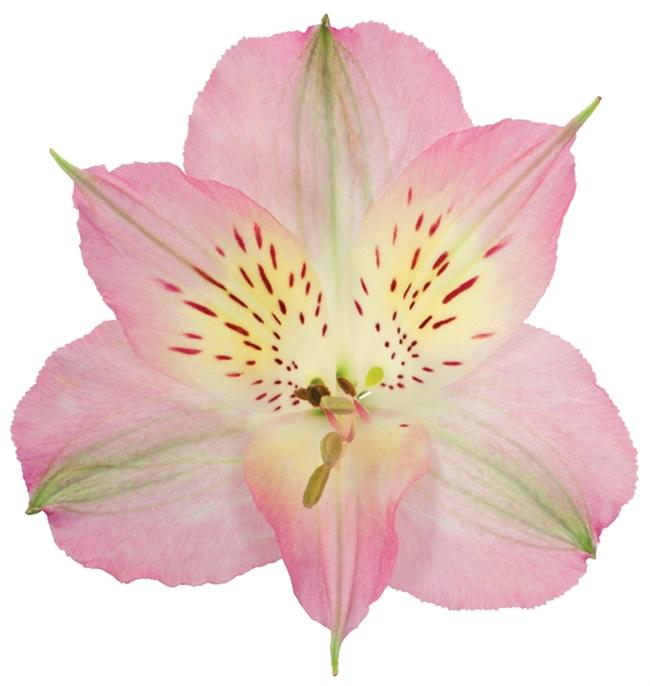 <h4>Alstr Pink Premium 80cm</h4>