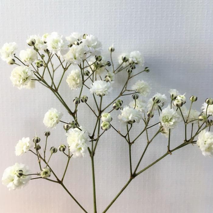 <h4>Gypsophila - Xlence</h4>