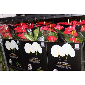 ANTHURIUM MICHIGAN P17 PREMIUM