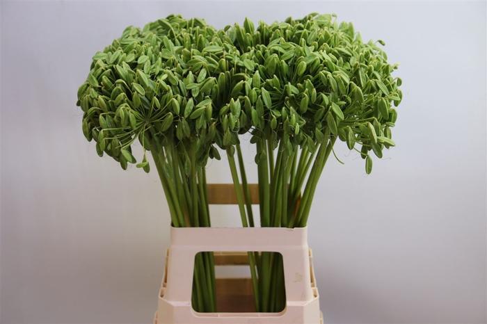 <h4>Agap Green Zd</h4>