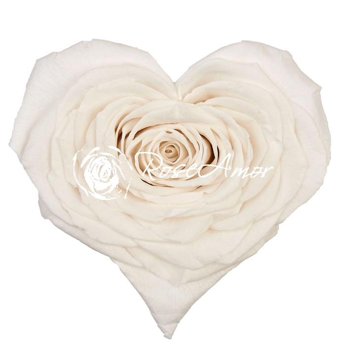 <h4>PRESERVED ROSA HEART XXL WHI 01</h4>
