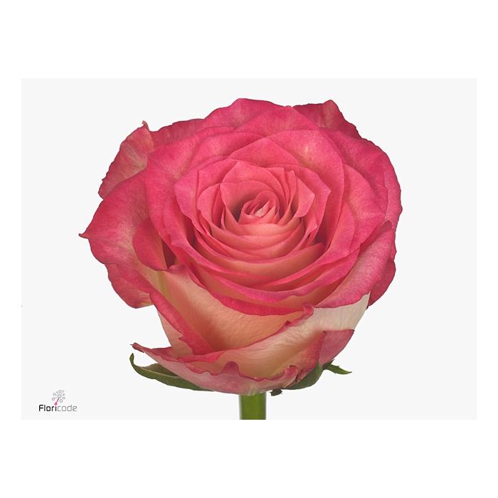 <h4>Rosa large flowered Navarra</h4>