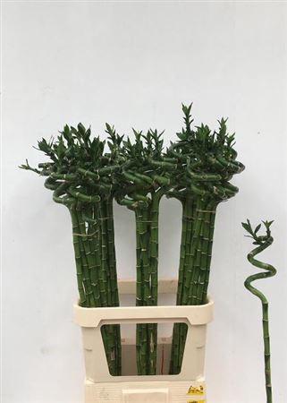 <h4>Drac S Lucky Bamboo 100 Cm</h4>