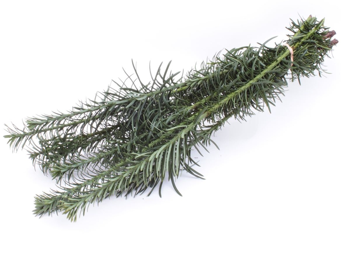 <h4>Conifeer Taxus Cephalo X5</h4>