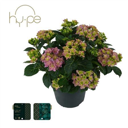 <h4>Hydrangea Double Dutch Dark Purple 7+</h4>