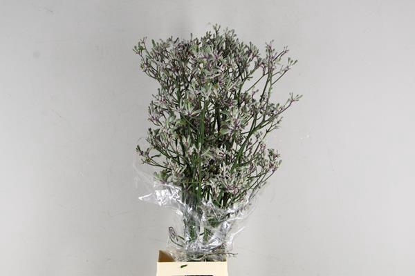 <h4>Anigoz Lilac Queen</h4>