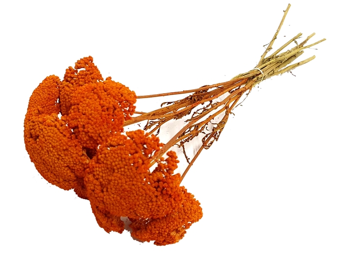 <h4>Achillea per stem Orange</h4>