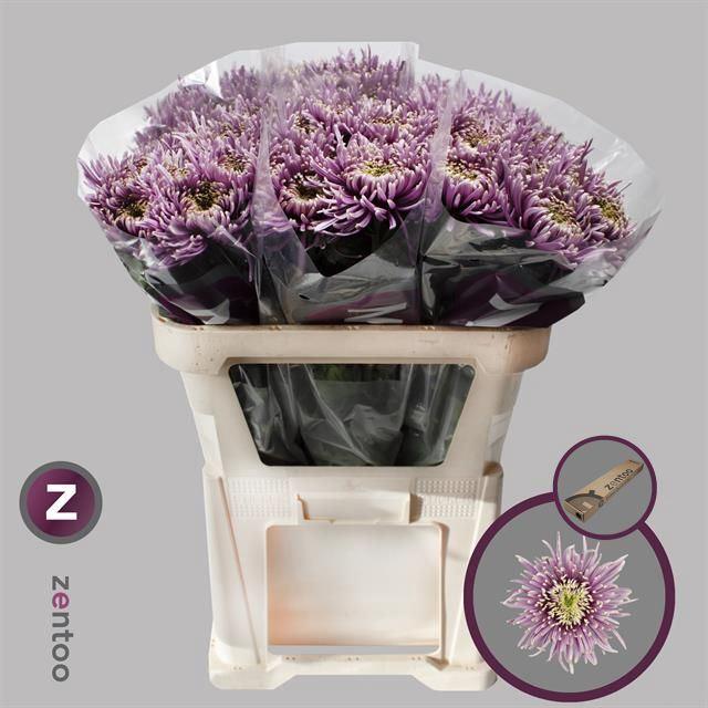 <h4>Chrysanthemum PL 'Baltazar Intense'</h4>