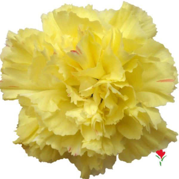 <h4>Di St Hemes Yellow</h4>