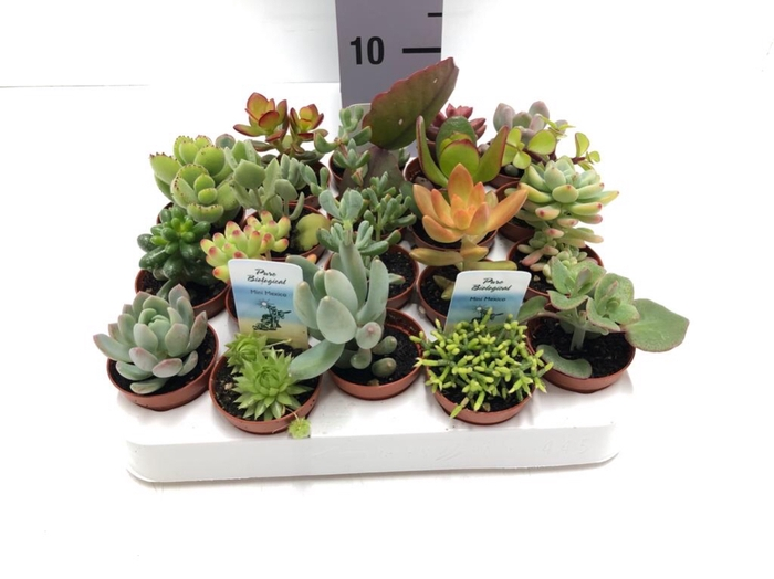 <h4>Succulenten mixed 5Ø 10cm</h4>