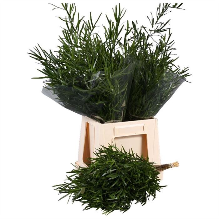 <h4>Asparagus Falcatus Holland</h4>