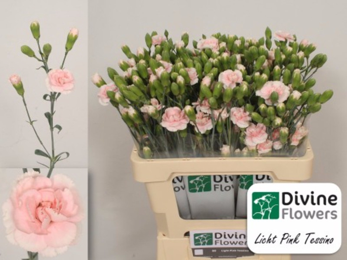 <h4>Dianthus tr. Light Pink Tessino</h4>