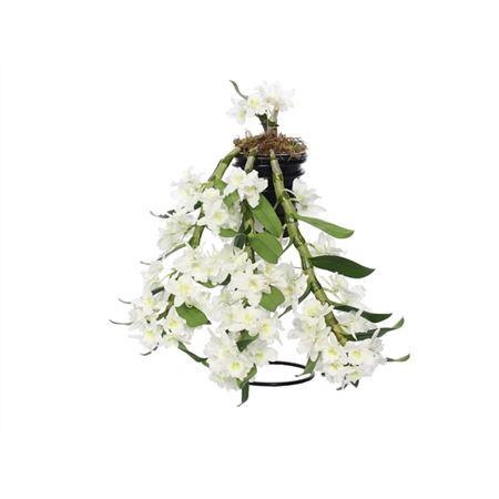 <h4>Dendr N S C White Flower Shower 2 Tak</h4>