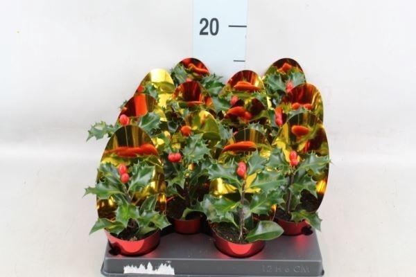 <h4>Ilex aquifolium</h4>