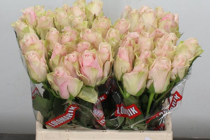 <h4>R Gr Pink Athena</h4>