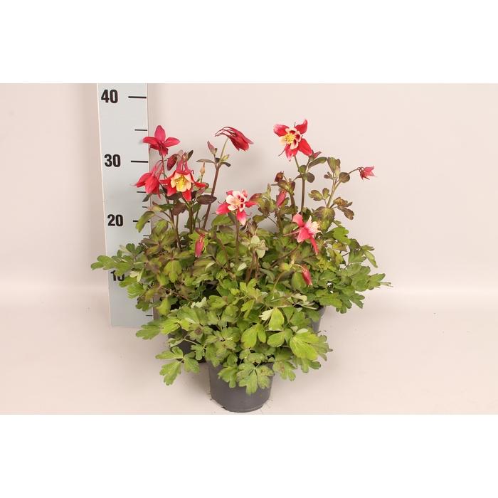<h4>Vaste planten 12 cm Aquilegia Red & White</h4>
