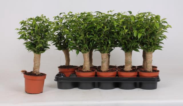 <h4>Ficus Natasja 12Ø 30cm</h4>