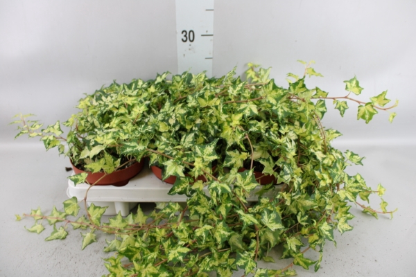 <h4>Hedera helix   ...mix varie yello</h4>