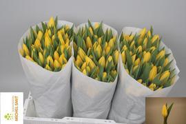 <h4>Tulipan Strong Gold</h4>