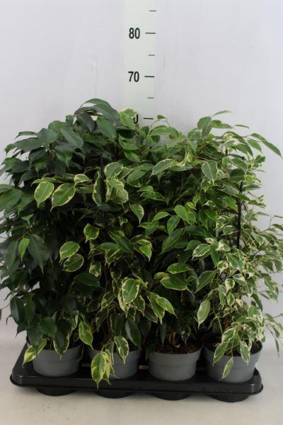 <h4>Ficus benja.   ...mix</h4>