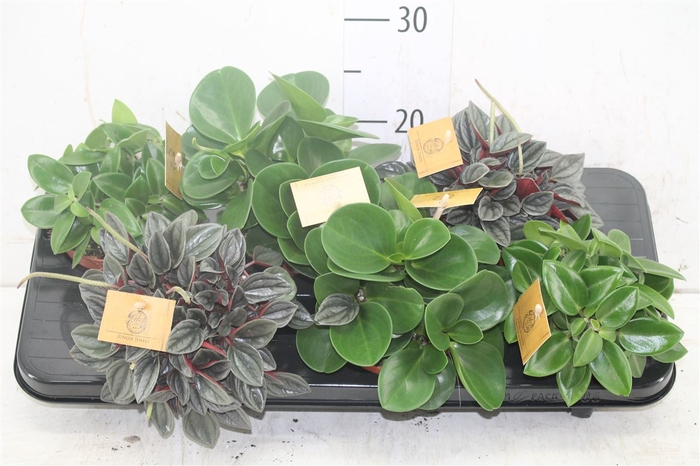 <h4>Peperomia Gemengd</h4>