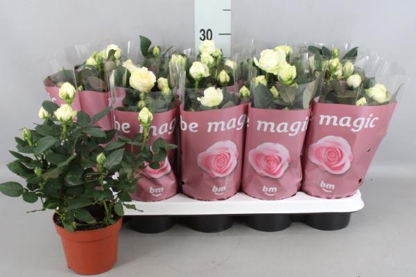 <h4>Rosa  'White Beau Monde'</h4>