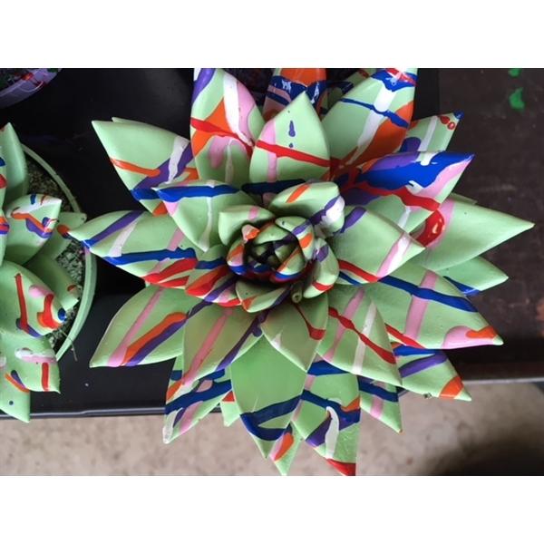 <h4>Echeveria coloured Splash pastel green</h4>