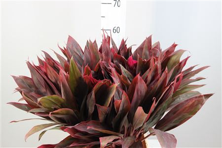 <h4>Cordyline Lang Red Sister</h4>