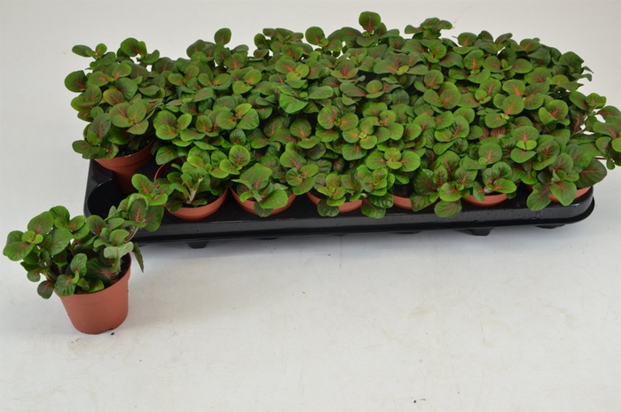 <h4>Fittonia fortissimo Bubble Red 8,5Ø 10cm</h4>