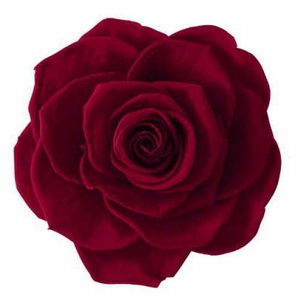 Rose Ines Burgundy