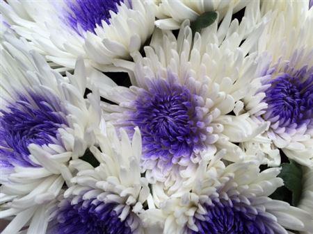 <h4>Chr G Ana White + Purple</h4>