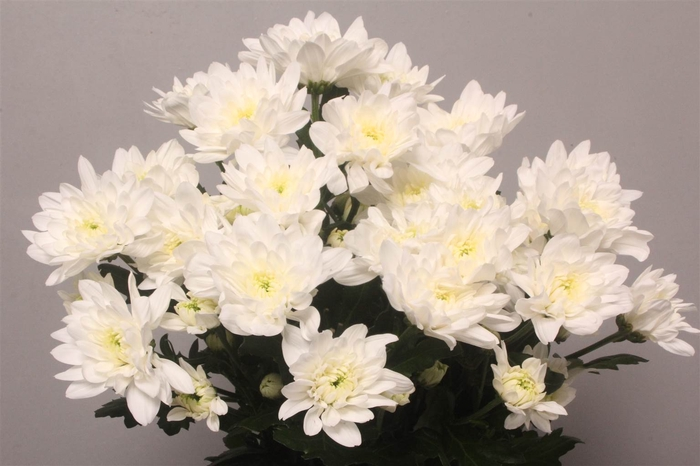<h4>Chrysant T Baltica</h4>