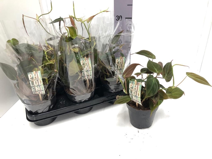 <h4>Philodendron scandens subsp. micans 12Ø 25cm</h4>