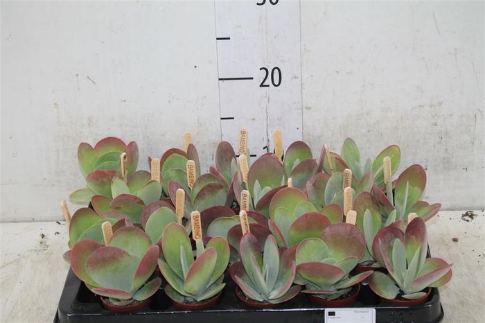 <h4>Kalanchoe Thyrsiflora</h4>