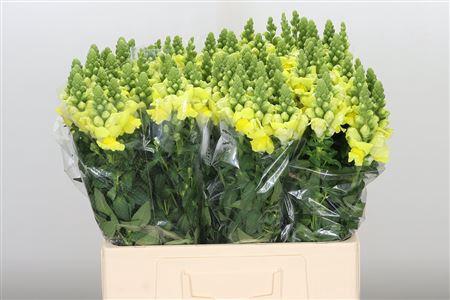<h4>Antirrhinum Nl. Yellow Legend</h4>