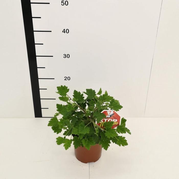<h4>Pelargonio graveolens (Citronella)</h4>