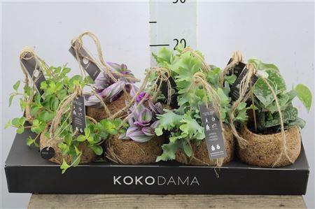 <h4>Kamerplant Green Mix Kokodama</h4>