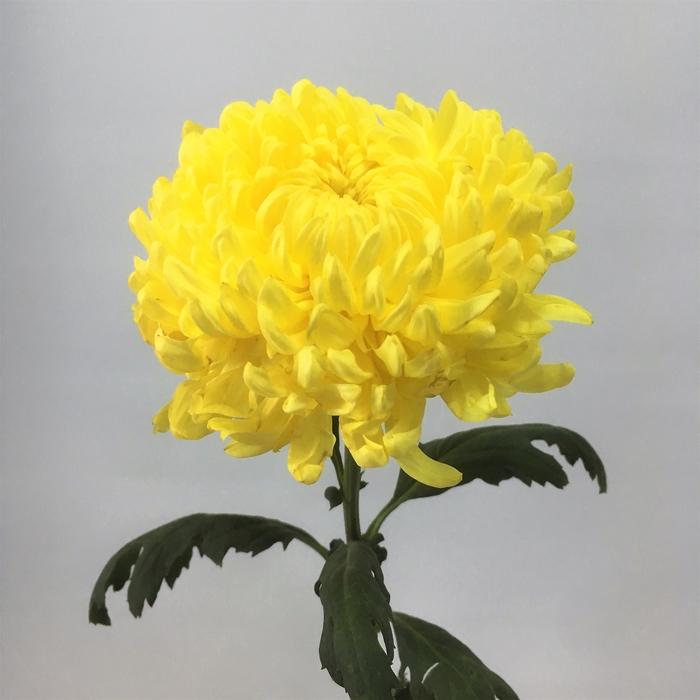 <h4>Chrysanthemums Snowball Yellow</h4>