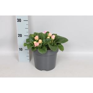 vaste planten 19 cm  Primula vulgaris Bellarose