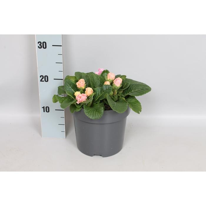 <h4>vaste planten 19 cm  Primula vulgaris Bellarose</h4>