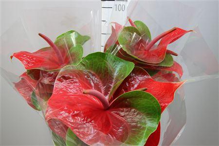 <h4>Anthurium A Spice</h4>