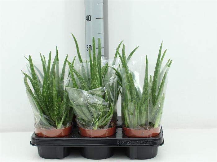<h4>Aloe Vera Clumb</h4>