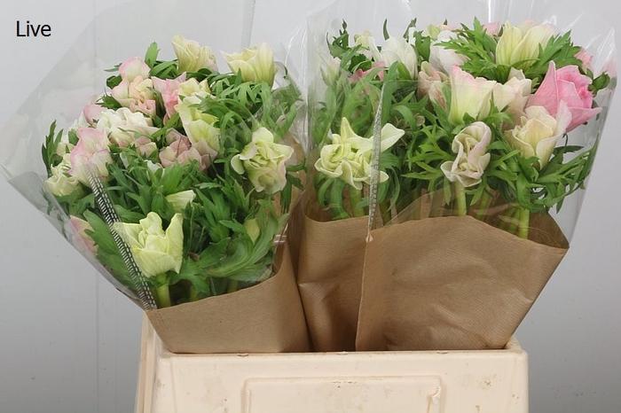 <h4>Anemone Mistral Plus Hanoi Pink</h4>